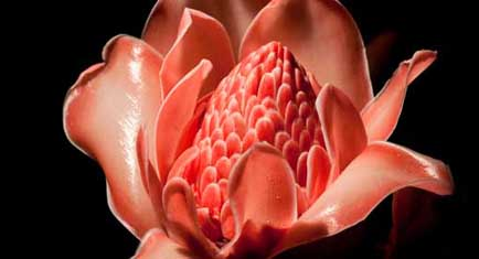 Eden At Night Torch Ginger